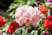 stock photo of geranium  - Closeup of beautiful blossom pink geranium in morning sunlight - JPG