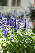 foto of salvia  - Blossom blue salvia flower in shallow depth of field - JPG