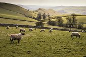 image of farm landscape  - Sheep in farm landscape on sunny day in Peak District UK - JPG