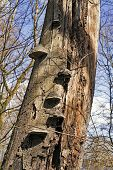 stock photo of fungus  - Old tree in forest  infected by Tinder fungus - JPG