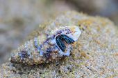 picture of hermit crab  - Hermit Crab in a screw shell on tropical sea - JPG