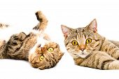 foto of scottish-fold  - Portrait of two cats Scottish Fold and Scottish Straight lying together close - JPG