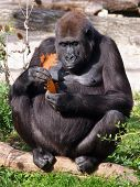 stock photo of gorilla  - Portrait of a Female gorilla playing with an autumn leaf - JPG