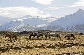 picture of herd horses  - Herd of Icelandic horses in front of snowy mountains in spring - JPG