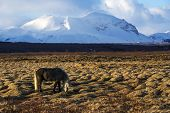 pic of horse-breeding  - Portrait of a gray Icelandic horse in front of snowy mountains - JPG