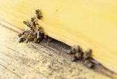 image of honey bee hive  - Honey bees are flying in and out of an yellow hive gathering pollen for honey - JPG