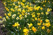 picture of easter lily  - Narcissus pseudonarcissus  - JPG