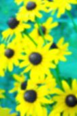 foto of black-eyed susans  - An Abstract Floral Background Image of a Black Eyed Susan - JPG