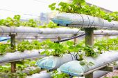 pic of row houses  - growing strawberry rows in a green house - JPG