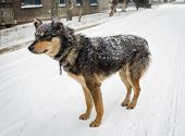 picture of stray dog  - Hungry stray dog during a snowstorm - JPG