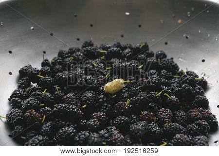 colander full with mulberry summer black berry with the only one white berry among all black