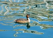 foto of great crested grebe  - Great Crested Grebe with reflection of riverside buildings in city center river - JPG