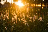 Flowering Grass At Sunrise Background. poster
