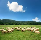 picture of sheep  - Herd of sheep on beautiful mountain meadow - JPG