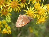picture of gatekeeper  - A Gatekeeper Butterfly - JPG