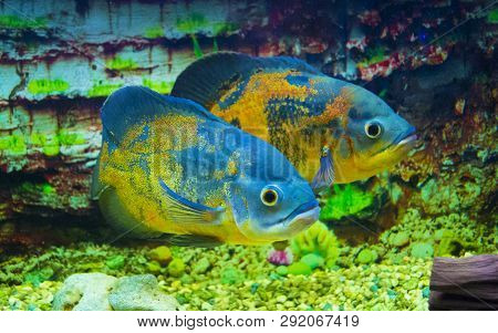 Astronotus Ocellatus Oscar Fish Swimming