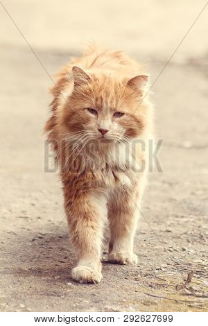 poster of Stray Street Red Cat. Homeless Cat. A Homeless Animal. Cat On The Street