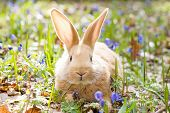 A Glade Of Blue Spring Flowers With A Little Fluffy Red Rabbit, An Easter Bunny, A Hare On A Meadow poster