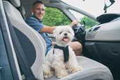 Small dog maltese in a car his owner in a background. Dog wears a special dog car harness to keep hi poster