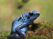 stock photo of poison dart frogs  - Blue Poison Dart Frog Sitting At Rest - JPG