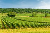 Rows Of Vineyard Grape Vines, Landscape With Green Vineyards In Bourgogne, France poster