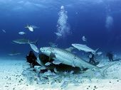 Two Tiger Sharks And Some Caribbean Reef Sharks Close On A Diver. Tiger Beach, Bahamas poster