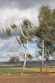 Two Birch Trees In The Wind