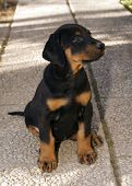 Dobermann puppy