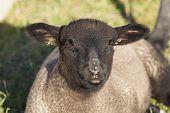 Sheeps In Le Hourdel, Somme, Hauts-de-france, France poster