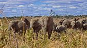 Herd Of Elephants. African Bush Elephant (loxodonta Africana), Also Known As The African Savanna Ele poster