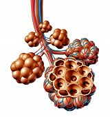 Pulmonary Alveoli Or Alveolus Anatomy Diagram As A Medical Concept Of A Lung Anatomy And Repiratory  poster