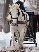 stock photo of sleigh ride  - White horse pulling black sleigh in winter - JPG