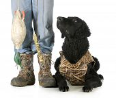hunting dog - curly coated retriever beside hunter with deadfowl dummie on white background