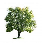 picture of maple tree  - Giant maple tree isolated on white background - JPG