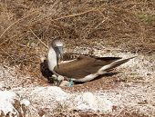 foto of blue footed booby  - Blue footed booby is seabird with baby chick living on Galapagos Islands National Park in Ecuador - JPG