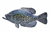 image of crappie  - A black crappie isolated on a white background - JPG
