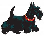 image of scottie dog  - dog breed scottish terrier - JPG