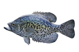 pic of crappie  - A black crappie isolated on a white background - JPG
