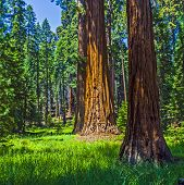 image of sequoia-trees  - the famous big sequoia trees are standing in Sequoia National Park Giant village area big famous Sequoia trees mammut trees - JPG