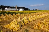 image of tobacco barn  - Tobacco cut and staked for field drying before it is taken into the barn for more drying - JPG