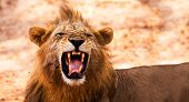 image of growl  - Wild African Male Lion Growling and Showing Dangerous Teeth - JPG