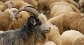 stock photo of baby goat  - A Goat in the flock of sheep - JPG