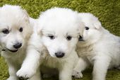 stock photo of swiss shepherd dog  - Three baby swiss shepherd sitting in green wash - JPG
