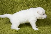 foto of swiss shepherd dog  - Baby swiss shepherd sitting on green carpet - JPG