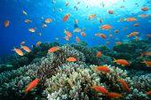 foto of damselfish  - Hard Corals and Lyretail Anthias and Damselfishes - JPG