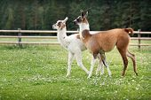 Two baby lamas on a farm yard