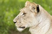 image of lioness  - Young African Lioness Eastern Africa - JPG