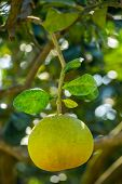 Pomelo fruit on a tree closeup