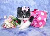 picture of pom poms  - A sweet little Pom puppy dressed in a pink poke a dot dress - JPG