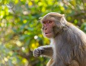 picture of macaque  - Macaque monkey in Kathmandu - JPG